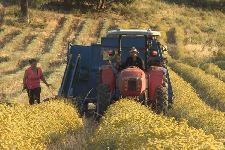 """""""Reportages Découverte"""" : Immortelle & châtaigne, les trésors de la Corse, ce 13 juillet sur TF1"""