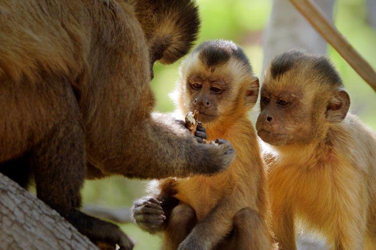 « Primates, la force du clan » : document inédit raconté par François Morel, samedi 17 octobre sur France 2
